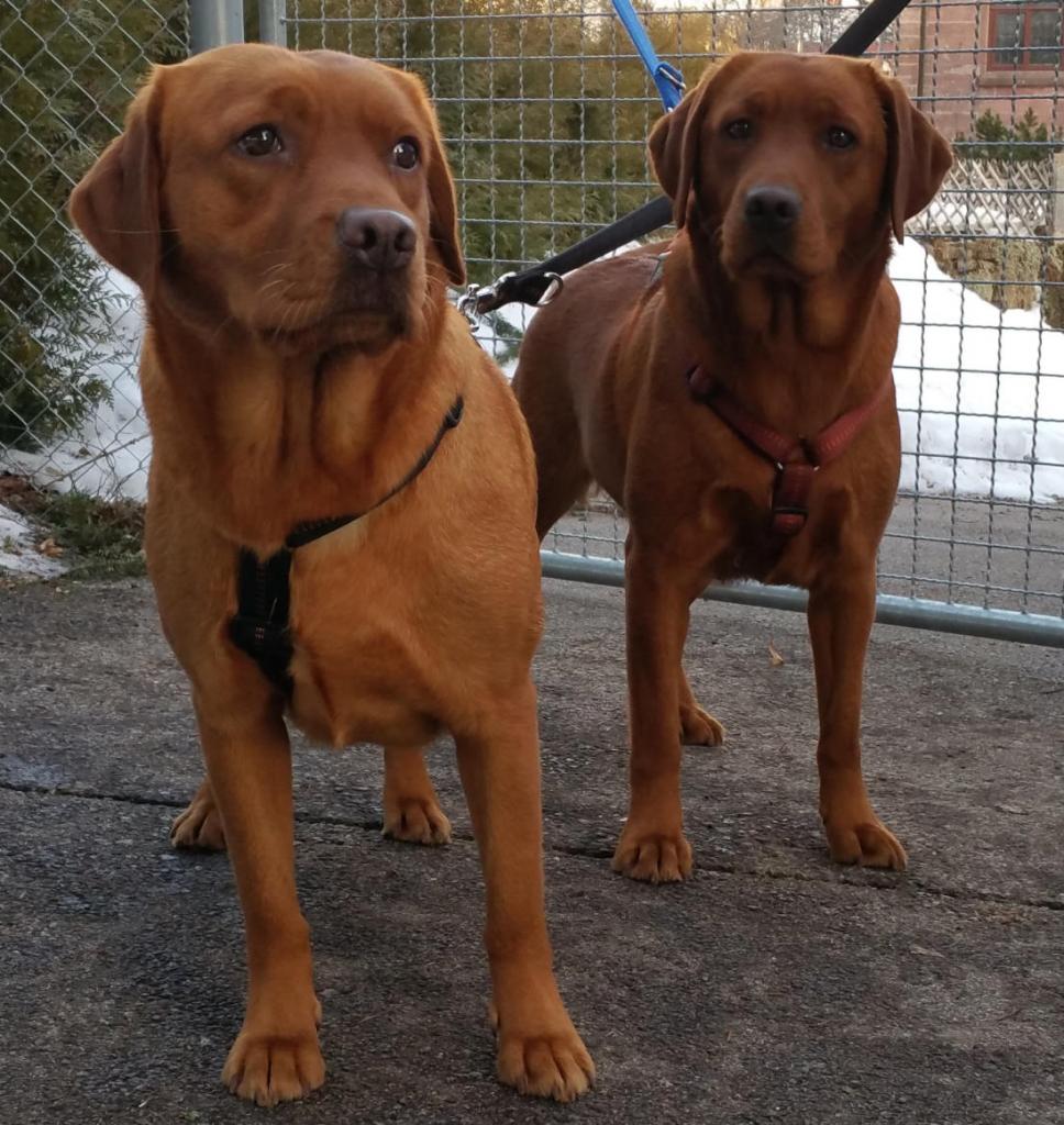Renny und Cessy, unsere zwei Foxred Labrador Mädchen